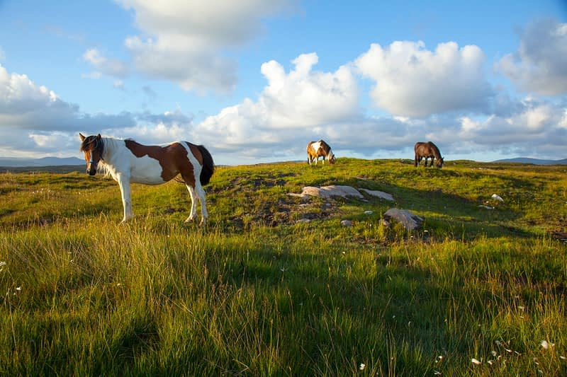 Ponies grazing in a meadow, County Donegal, Ireland.