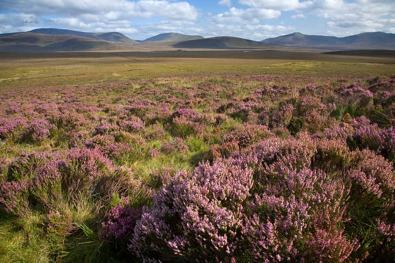 Heather blooming beneath the Nephin Beg Mountains, Ballycroy National Park, Co Mayo, Ireland.
