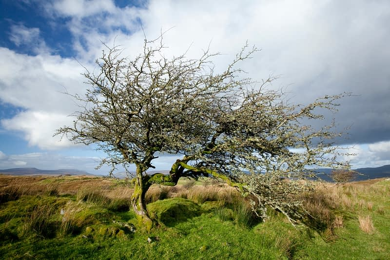Old, twisted hawthorn, Tullyskeherny, Co Leitrim, Ireland.
