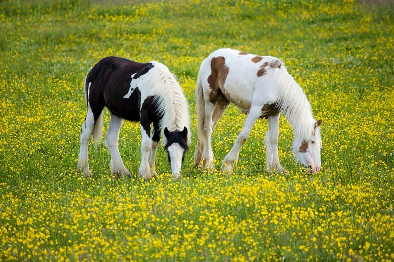 Horses grazing in a field of buttercups, Co Tyrone, Northern Ireland.