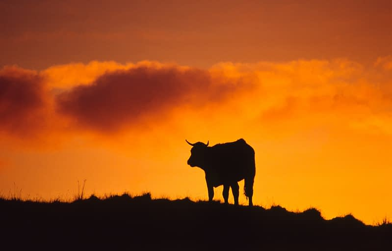 Cow silhouetted at dawn, Connemara, Co Galway, Ireland.