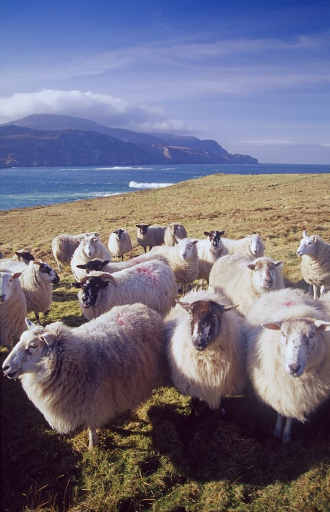 Flock of inquisitive sheep, Loughros Point, Ardara, Co Donegal, Ireland.
