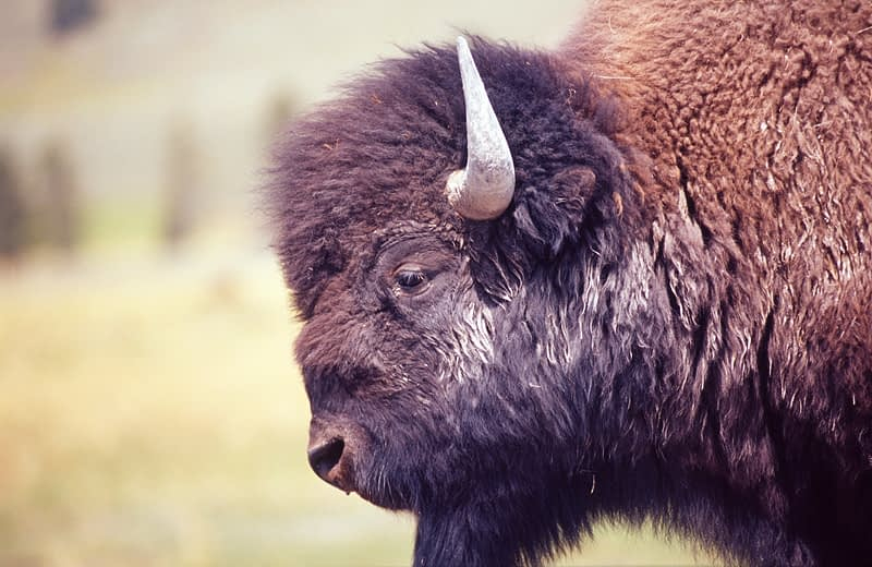 Male bison, Yellowstone National Park, Wyoming, USA.