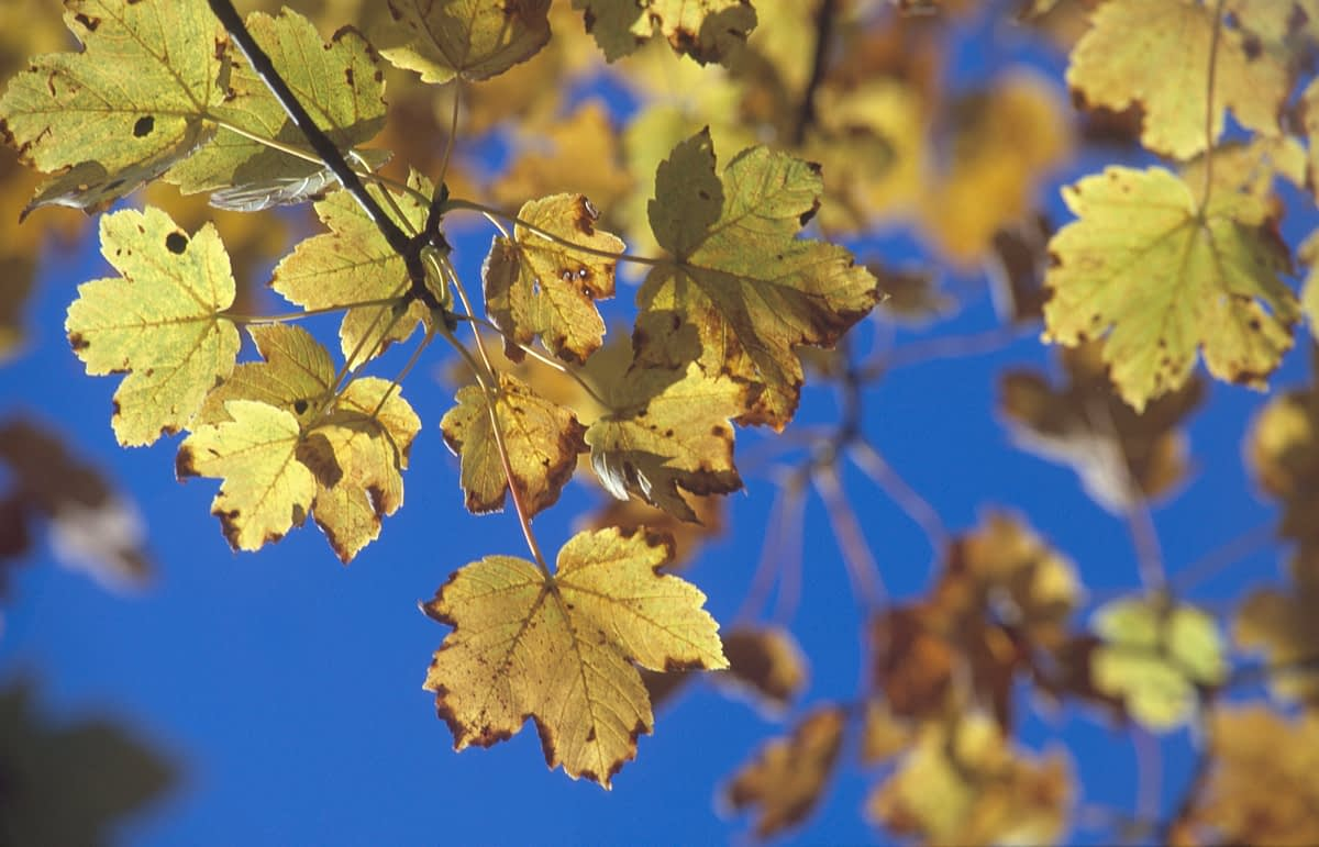 Autumn sycamore leaves, Co Donegal, Ireland.