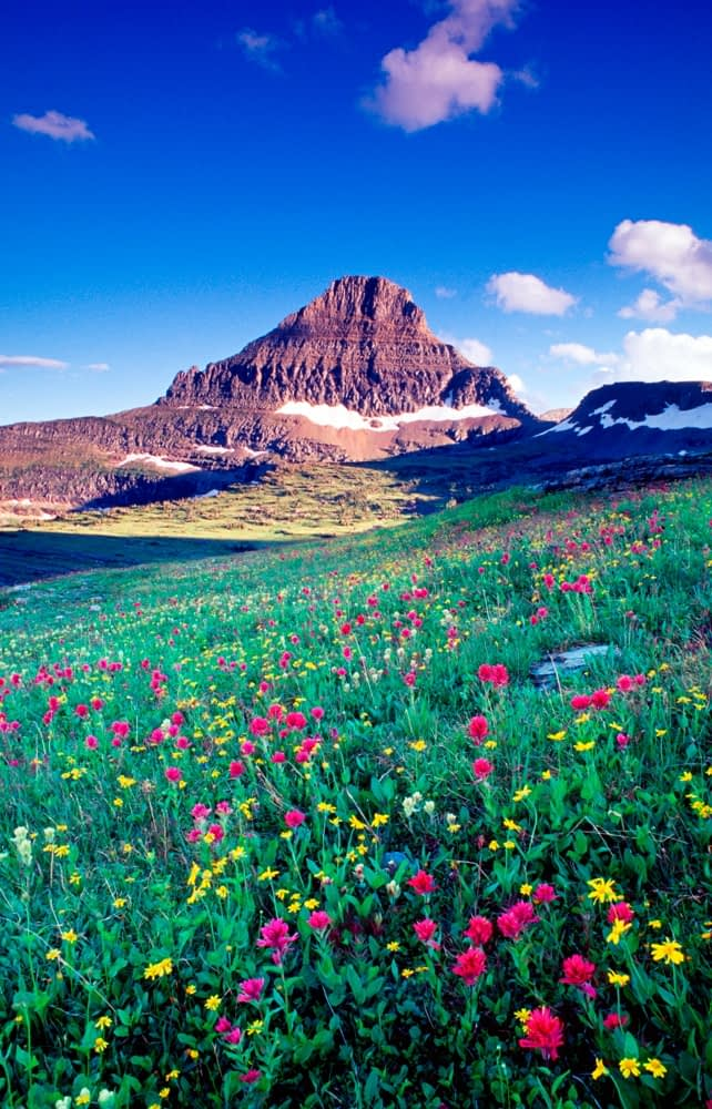 Wildflowers beneath Reynolds Mountain, Glacier National Park, Montana, USA.