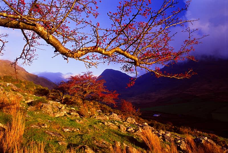 Branch of a hawthorn tree above Glencar, Co Kerry, Ireland.