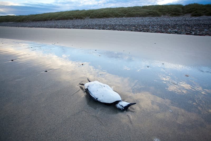 Dead Razorbill on Elly Bay Beach, Belmullet Peninsula, Co Mayo, Ireland.