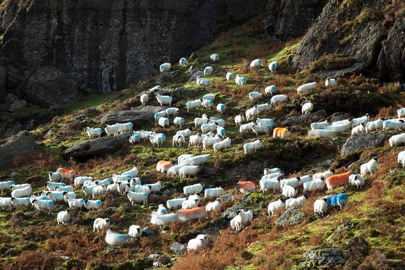 Hill sheep, Mahon Valley, Comeragh Mountains, County Waterford, Ireland.