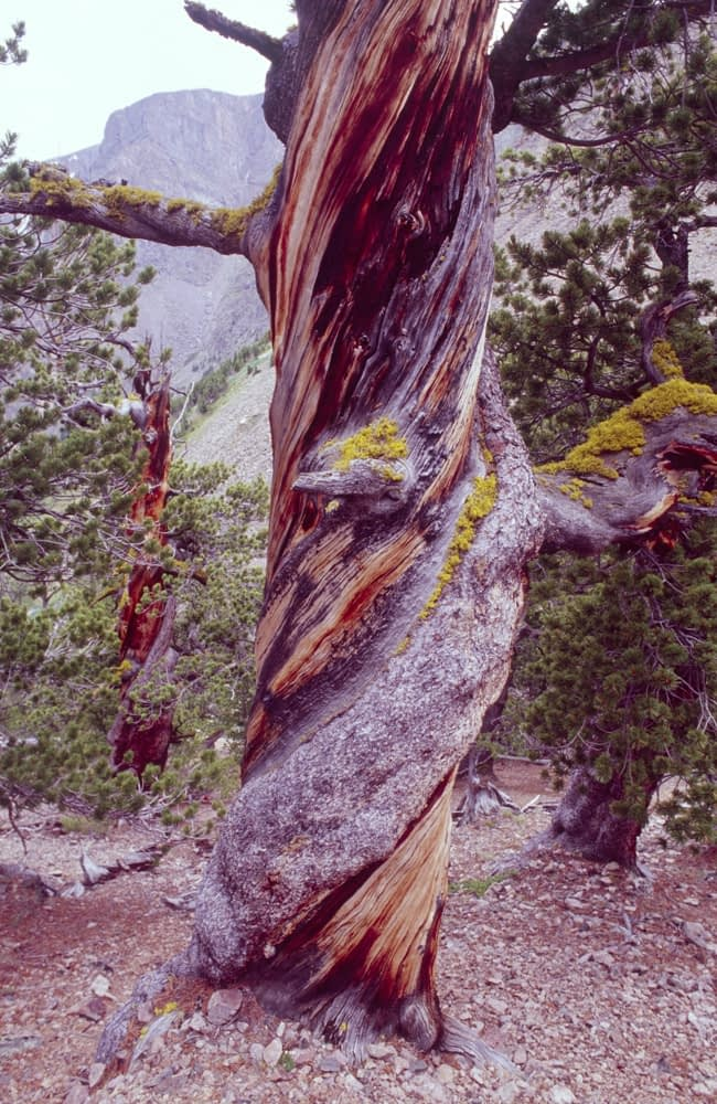 Twisted trunk of a Limber pine, or pinus flexilis, Montana, USA.