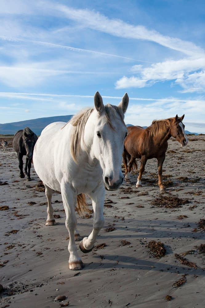Horses on the beach, The Magherees, Dingle Peninsula, County Kerry, Ireland.