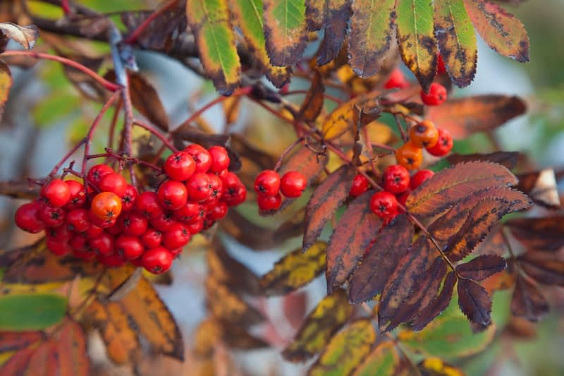 Autumn rowan berries, Co Mayo, Ireland.