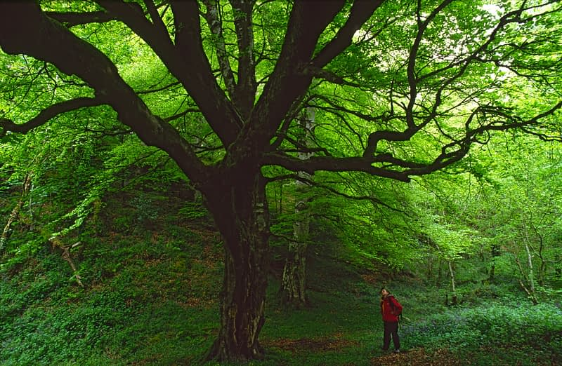 Person beneath a beech tree, Ness Wood Country Park, Co Derry, Northern Ireland.