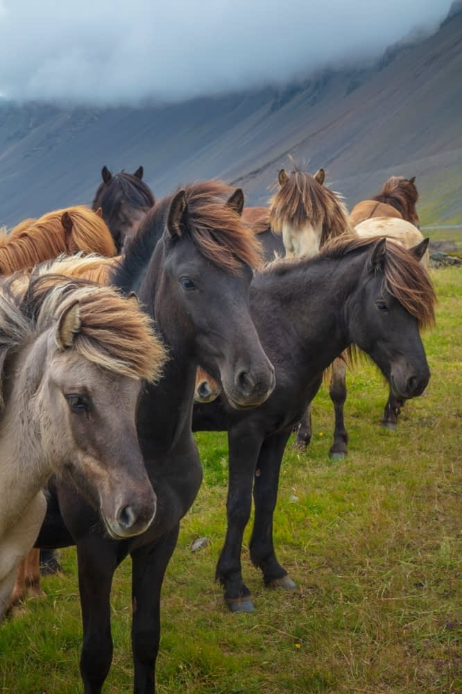 Herd of young Icelandic horses near Hofn, south east Iceland.