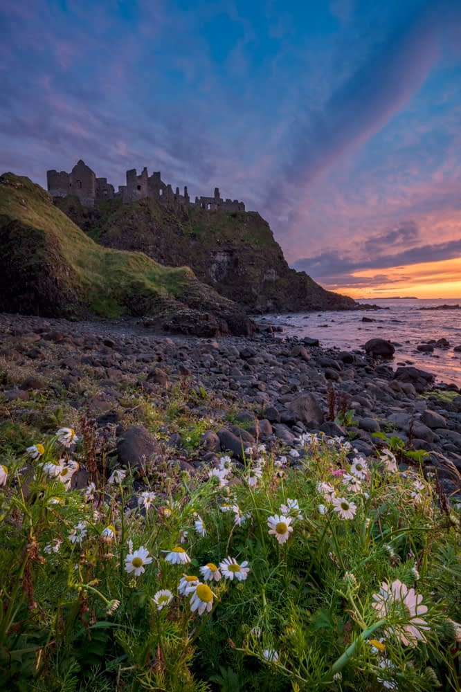 Evening ox-eye daisies beneath Dunluce Castle, Causeway Coast, County Antrim, Northern Ireland.