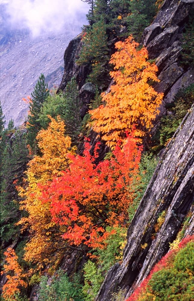 Autumn trees clinging to a mountainside, French Alps, France.