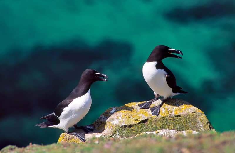 Razorbills, Saltee Islands, Co Wexford, Ireland.