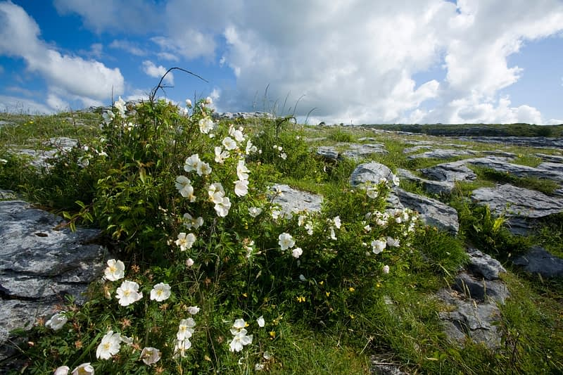 Limestone pavement and wildflowers of The Burren, Co Clare, Ireland.