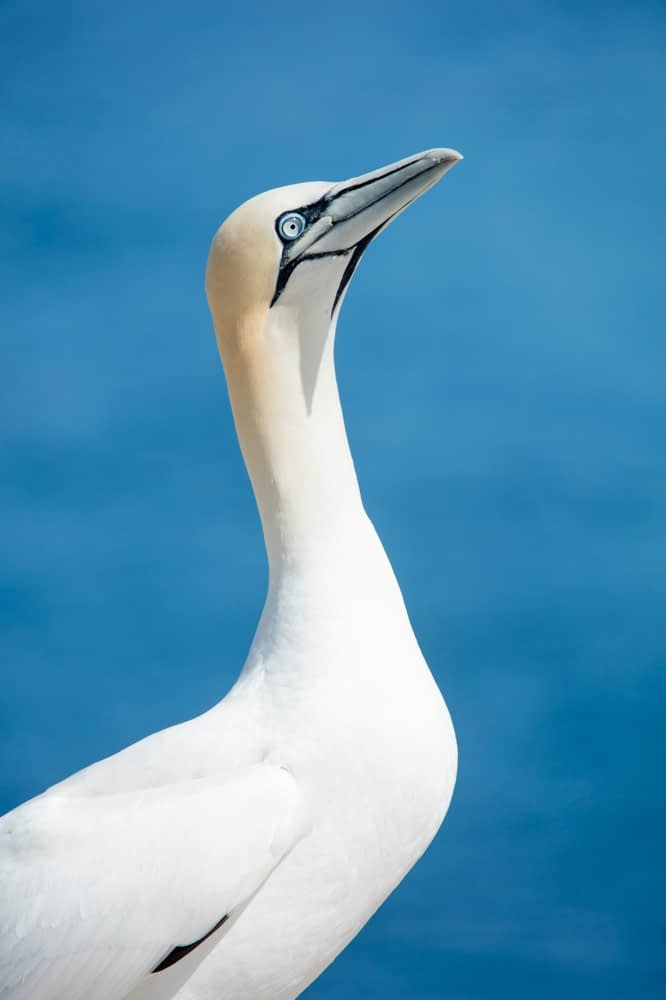 Northern Gannet, Great Saltee Island, County Waterford, Ireland.
