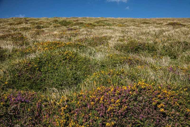 Heather and gorse on coastal heath, Bray Head, County Kerry, Ireland.