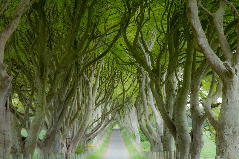 The Dark Hedges, Armoy, County Antrim, Northern Ireland.
