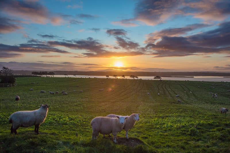 Sheep and sunset over the River Moy, County Sligo, Ireland.