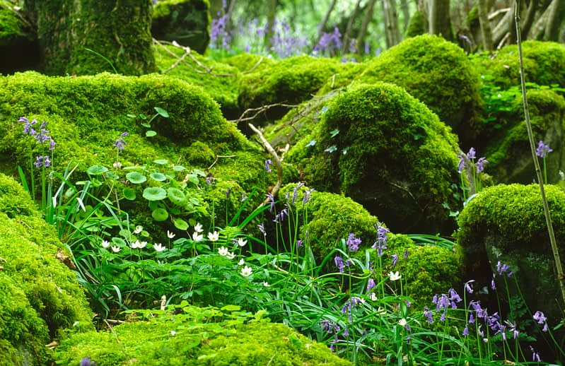 Wood anemone and bluebells, Ness Wood, Co Derry, Northern Ireland.