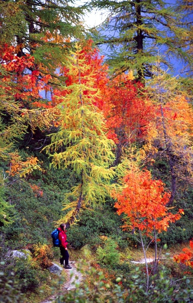 Walker beneath autumn trees, Chamonix Valley, French Alps, France.