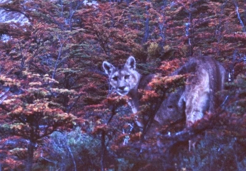 Puma (Puma concolor), Torres del Paine National Park, Patagonia, Chile.
