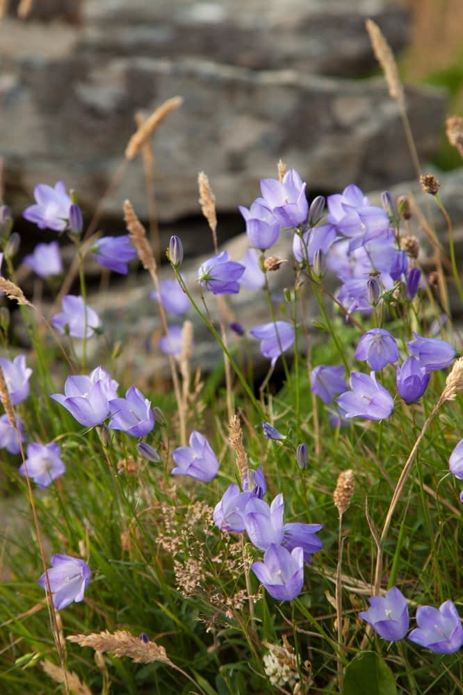 Hare bells (Campanula rotundifolia), The Burren, County Clare, Ireland.