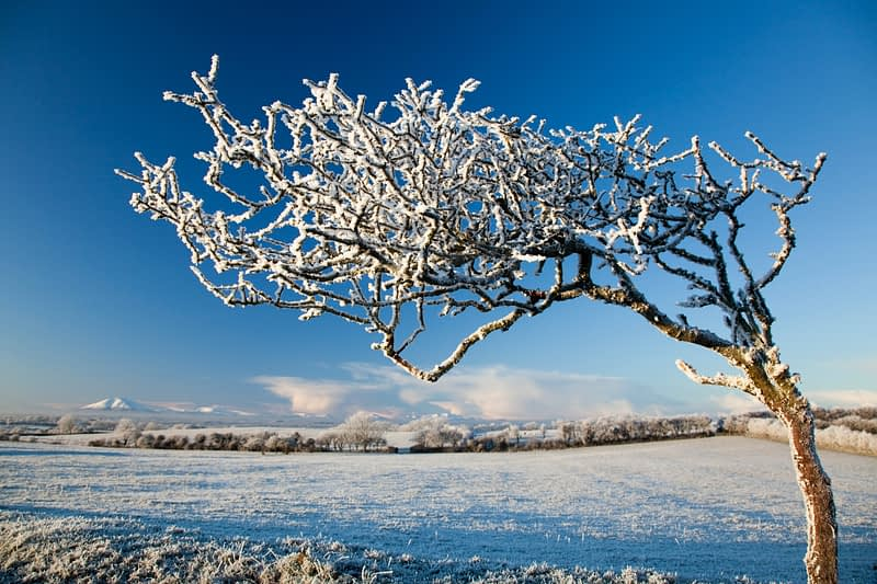 Wind-bent hawthorn in winter frost, Co Sligo, Ireland.