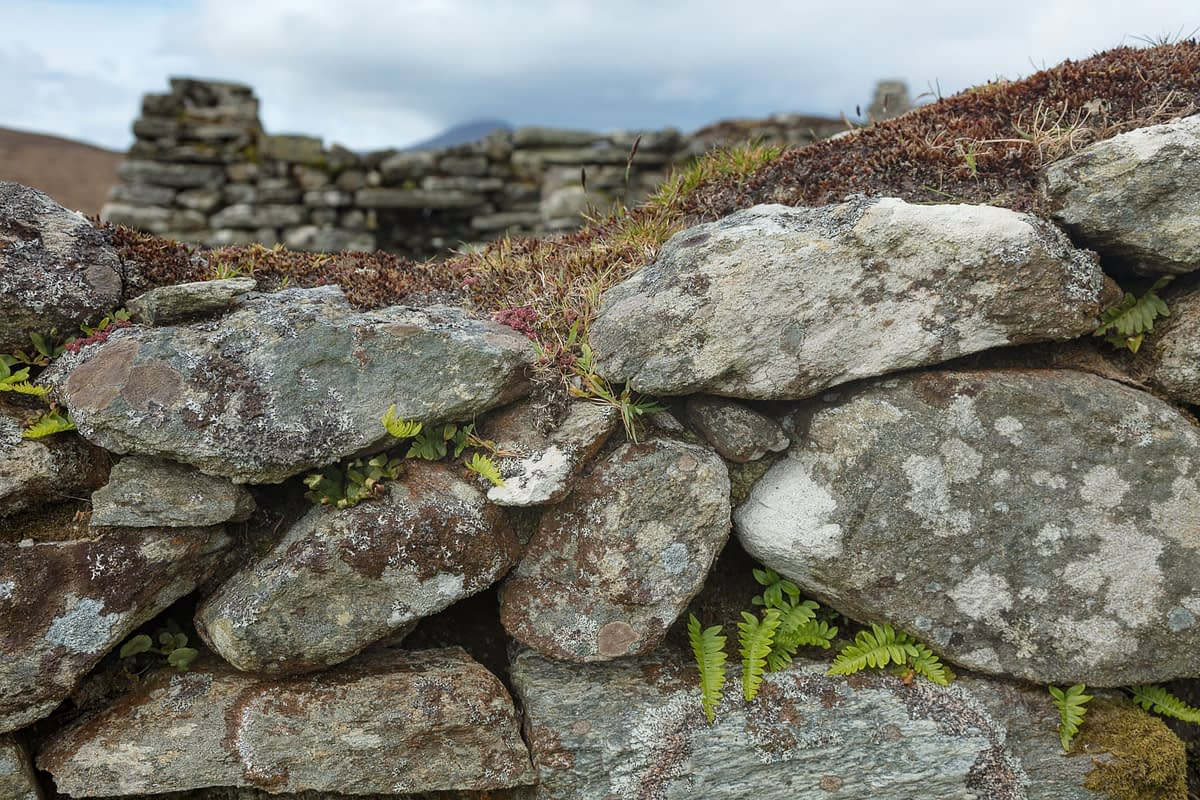 Ferns growing in a stone wall, Slievemore deserted village, Achill Island, County Mayo, Ireland.