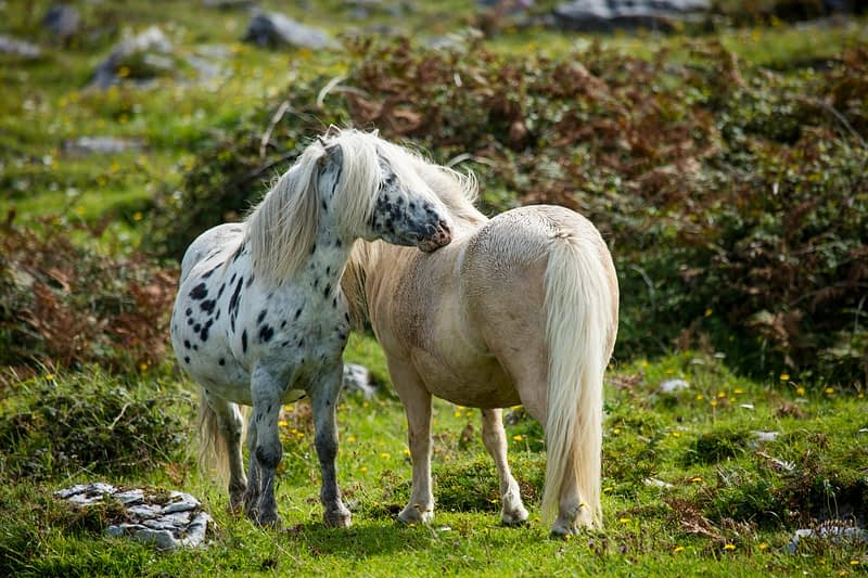 Ponies in a field, The Burren, County Clare, Ireland.