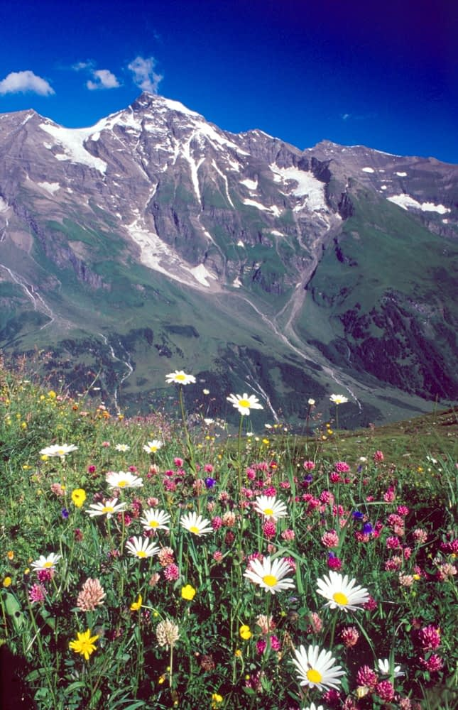 Wildflowers beneath Grosses Weisbachhorn, 3564m, Hohe Tauern National Park, Austria.