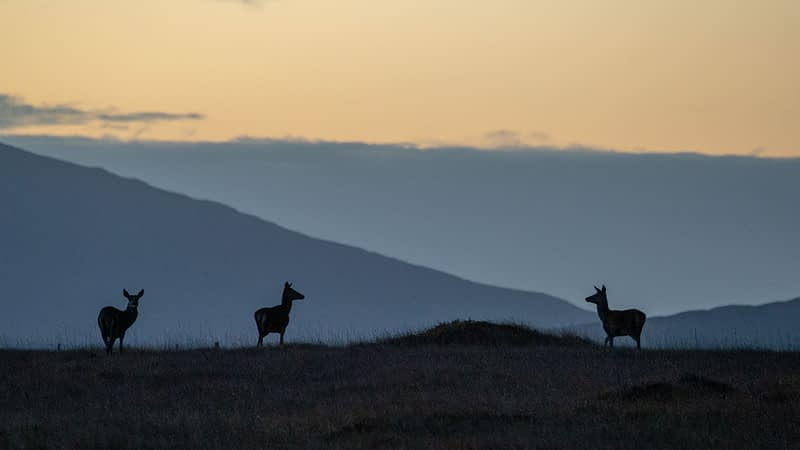 Deer silhouetted at dawn. Wild Nephin Wilderness Area, Ballycroy National Park, County Mayo, Ireland.