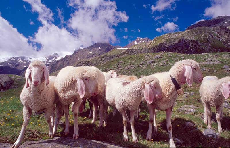 Sheep along the Stubai Hohenweg, Stubai Alps, Tirol, Austria.