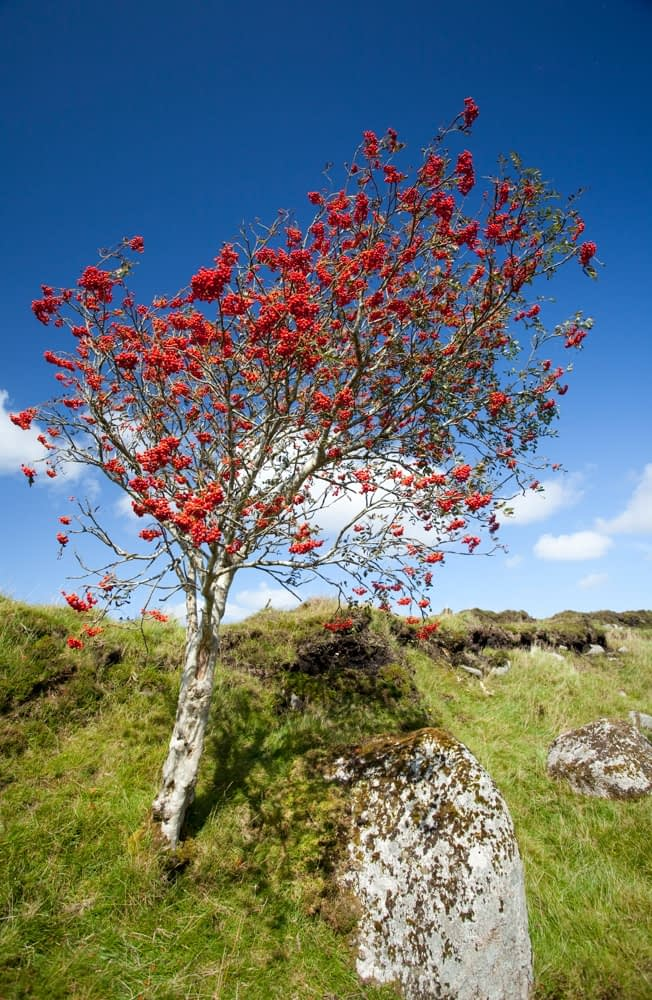 Mountain ash laden with berries, Ox Mountains, Co Sligo, Ireland.