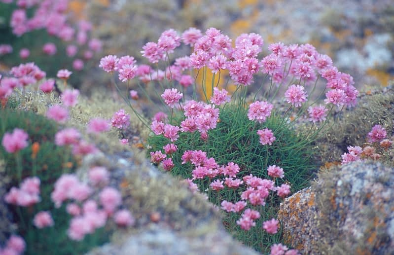 Sea Pink or Thrift, Co Donegal, Ireland.