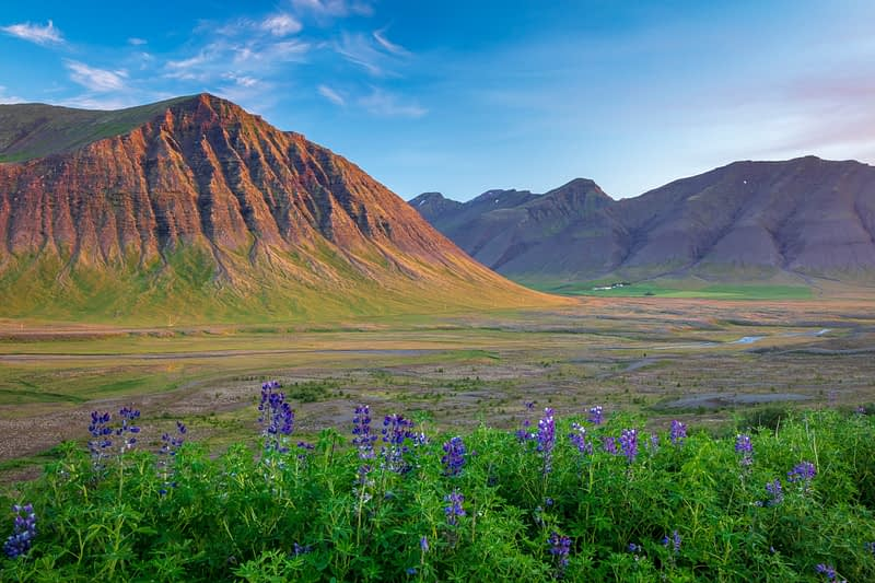 Summer lupines and mountain scenery near Pingeyri, Dyrafjordur. Westfjords, Iceland.