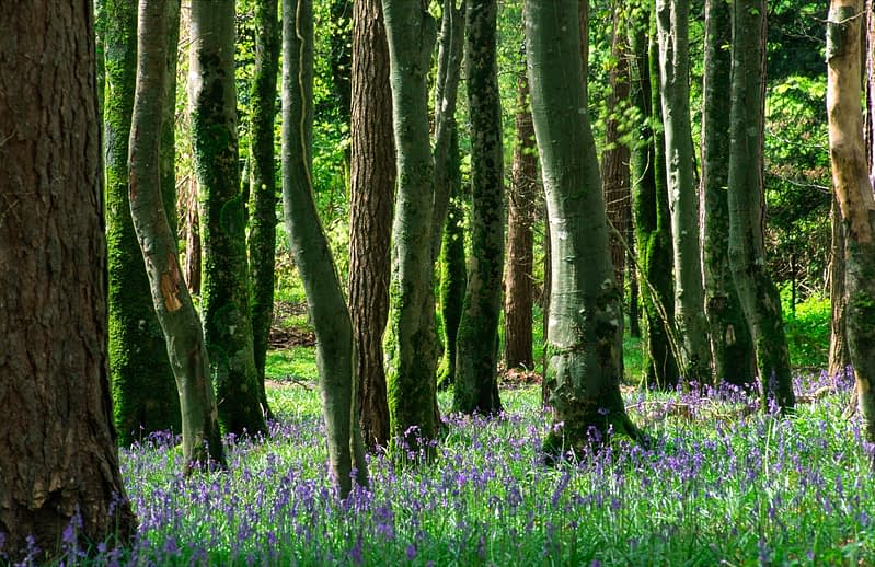 Beech trunks and bluebells, Killarney National Park, Co Kerry, Ireland.