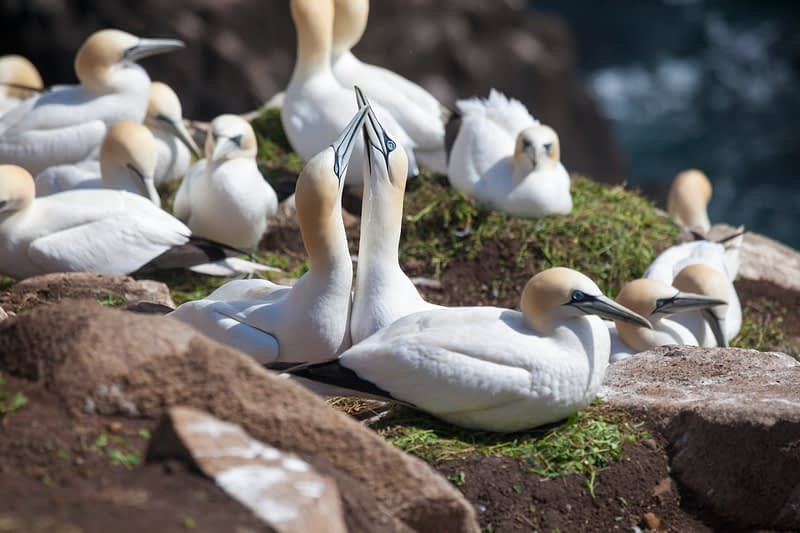 Gannet pair bill fencing, Great Saltee Island, County Waterford, Ireland.