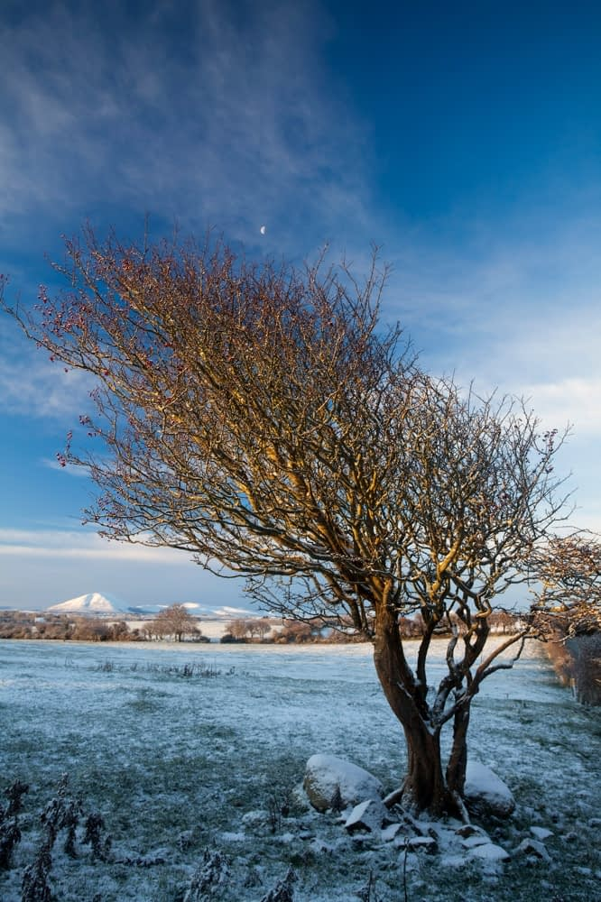 Winter hawthorn beneath the Nephin Beg Mountains, Co Sligo, Ireland.