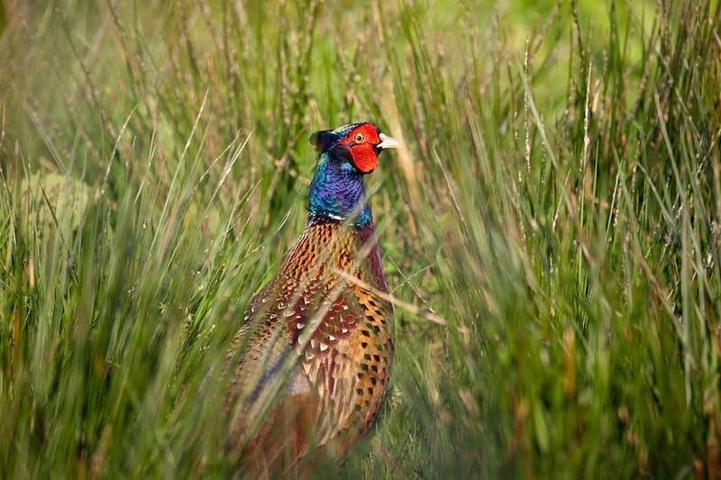 Pheasant, Co Fermanagh, Northern Ireland.