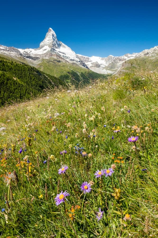 Wildflower meadow beneath the Matterhorn, Zermatt, Valais, Switzerland.
