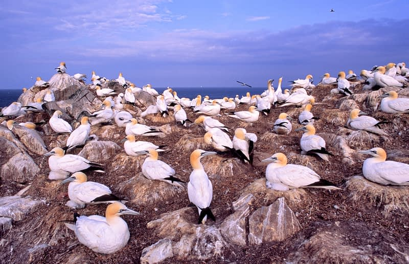 Gannet colony, Saltee Islands, Co Wexford, Ireland.