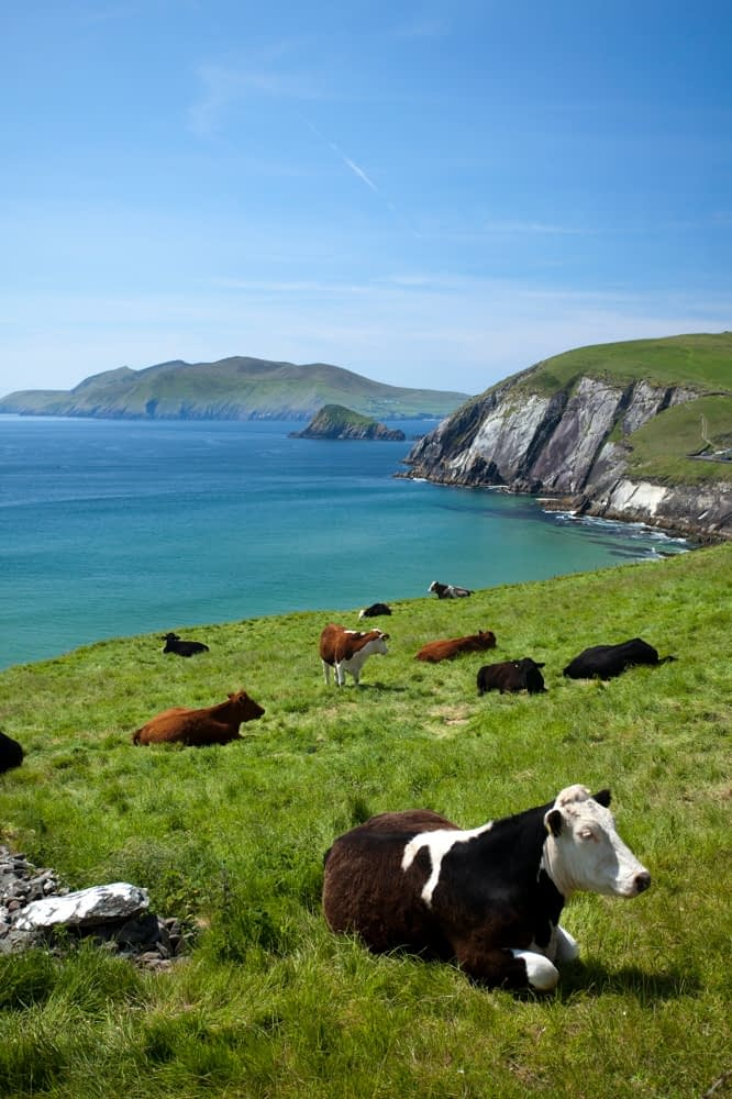 Cows resting above Coumeenoole Bay, Dingle Peninsula, Co Kerry, Ireland.