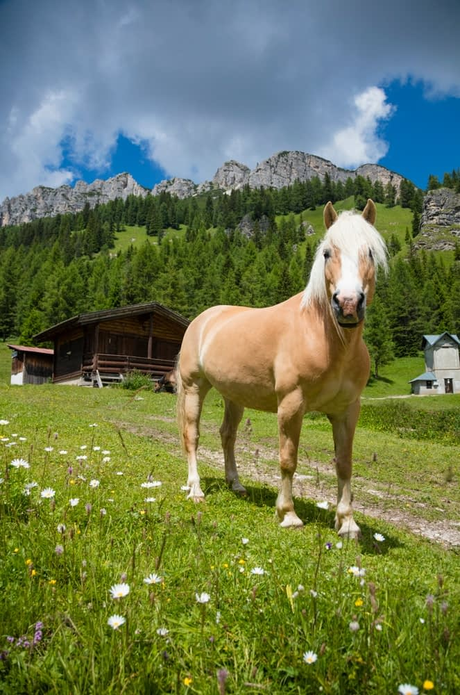 Haflinger horse in alpine pasture, Misurina, South Tyrol, Italy.