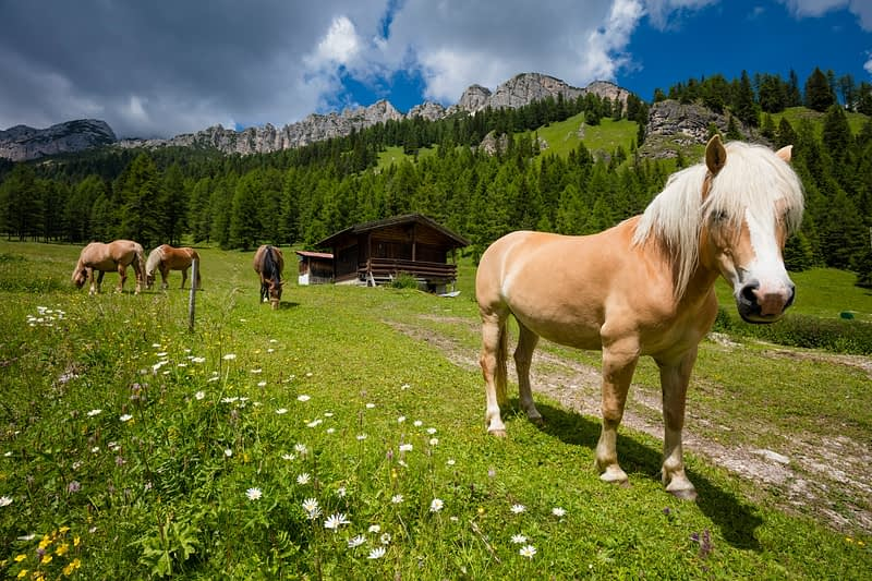 Haflinger horses in alpine pasture, Misurina, South Tyrol, Italy.